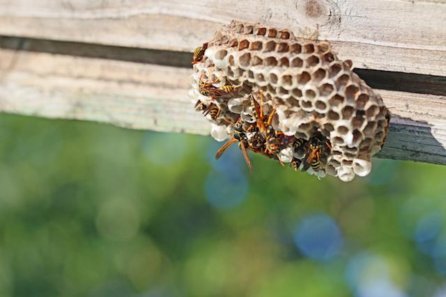 巣とアシナガバチ