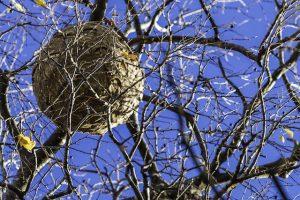 木の上に作られた大きな蜂の巣